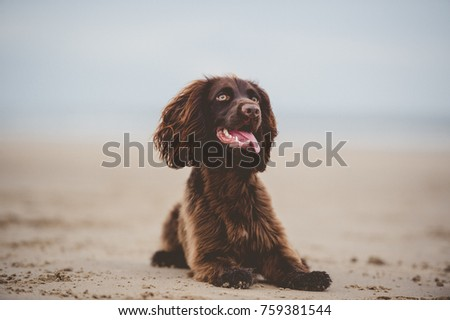 Working Cocker Spaniel  #759381544