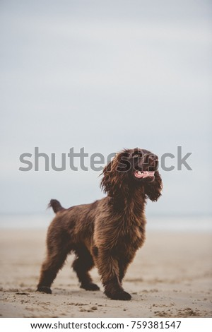 Working Cocker Spaniel  #759381547