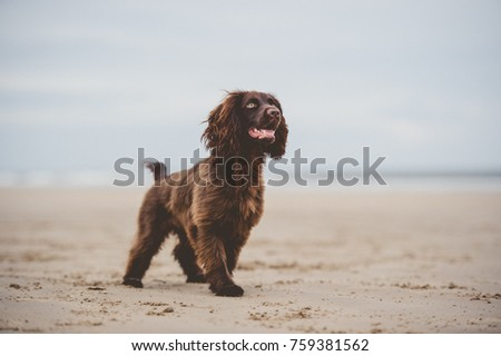 Working Cocker Spaniel  #759381562