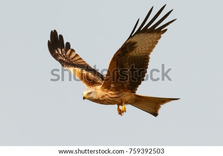 Awesome bird of prey in flight with the sky of background #759392503