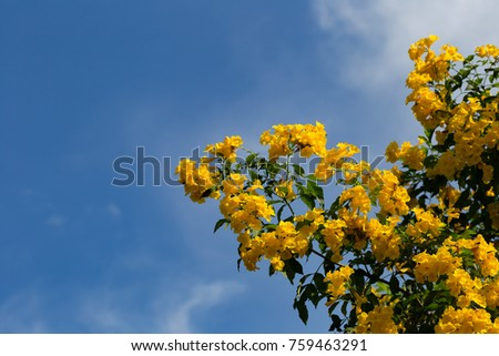 A tree with full blooming bright yellow flowers with clear blue sky and a few white cloud in the background.  #759463291