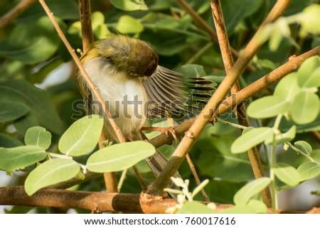 Tailorbird, Bird, Orthotomus, Cisticolidae #760017616