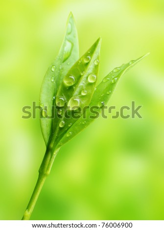 Tea tree (Thea sinensis). The leaves have been used in alternative medicine and other medical systems to treat asthma, angina pectoris, peripheral vascular disease, and coronary artery disease. #76006900