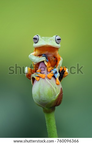 Tree frog, Wallace, flying frog #760096366