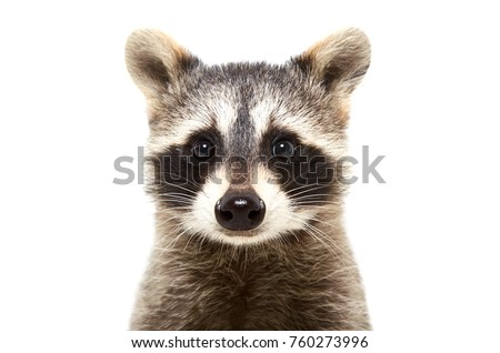Portrait of a cute funny raccoon, closeup, isolated on white background Royalty-Free Stock Photo #760273996