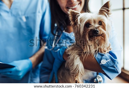 Cropped image of handsome doctor veterinarian and his attractive assistant at vet clinic are examining little dog Yorkshire Terrier. Royalty-Free Stock Photo #760342231