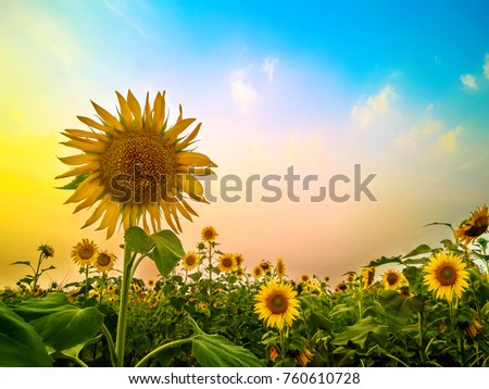 Beautiful sunflowers on the sunset with a beautiful sky.Colorful HDR film grain Tone.