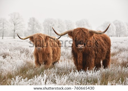 Hairy Scottish highlanders in a natural winter landscape of a national park in Drenthe region of The Netherlands Royalty-Free Stock Photo #760665430