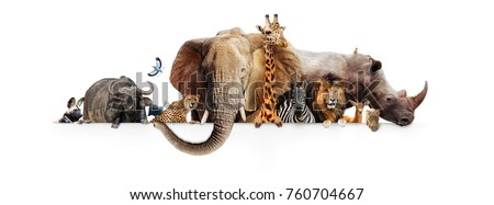 Row of African safari animals hanging their paws over a white banner. Image sized to fit a popular social media timeline photo placeholder Royalty-Free Stock Photo #760704667