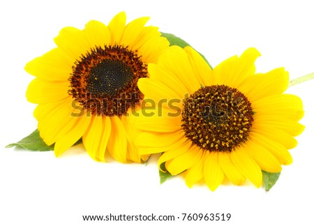 Sunflower with green leaf isolated on white background #760963519