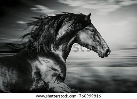 portrait of the Spanish running horse, black and white photo