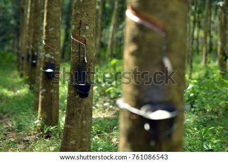Rubber tree latex in asia #761086543