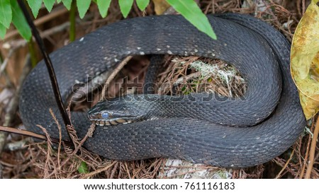 Southern/Banded Water Snake Royalty-Free Stock Photo #761116183