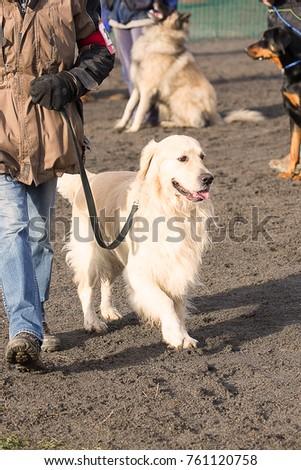 golden retrievers dog in obedience contest in belgium #761120758