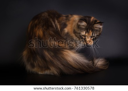 the best cats at the exhibition of different breeds  maine coon cat #761330578