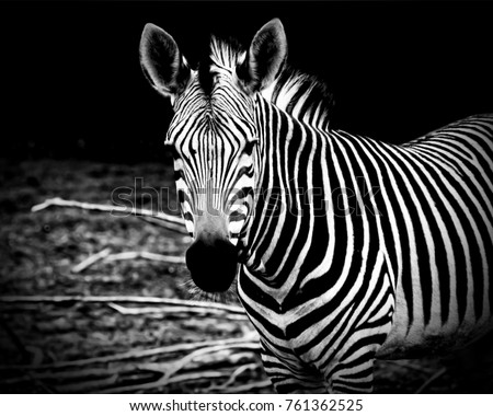 African zebra. Awesome print of African wildlife, African safari and wild animals. Travel to Africa. Stylish vintage design. Night photography