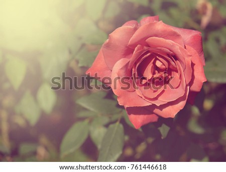 fresh red roses flower blossoming in the garden #761446618