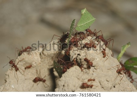 Leafcutter ants on a close up horizontal picture carrying leaf cuts to its nest. An exotic species from South American jungle which plants fungi on leaf cuts in its nest.