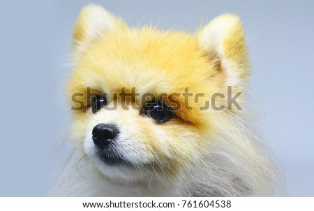 Pomeranian puppy close up islolated #761604538