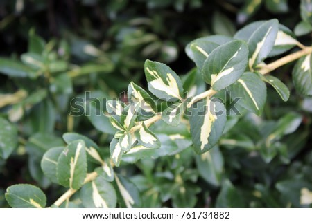 a branch with glossy green and white leaves #761734882