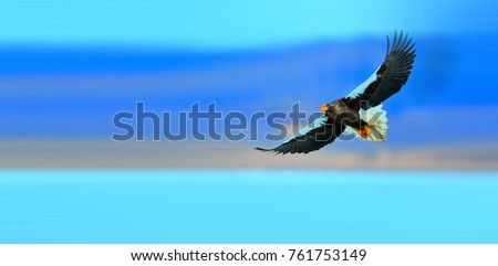 Steller's Sea Eagle looks for food in the snow #761753149