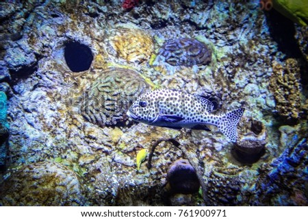 White poke a dotted tropical fish against a coal background. #761900971