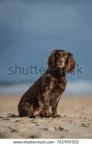 Working Cocker Spaniel #761909302
