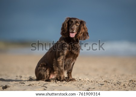 Working Cocker Spaniel #761909314
