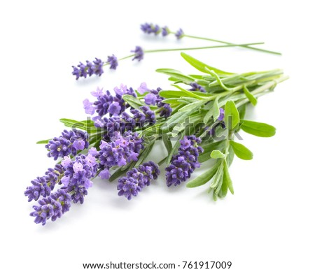 Bunch of Lavender flowers on a white background. #761917009