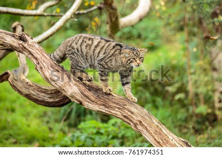 A Scottish Wildcat or Highlands tiger Royalty-Free Stock Photo #761974351