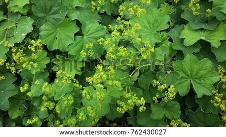Lady's Mantle in flower, Alchemilla Mollis #762430027
