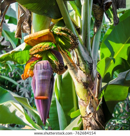 Huge blooming purple banana flower with slowly developing young bananas above #762684154