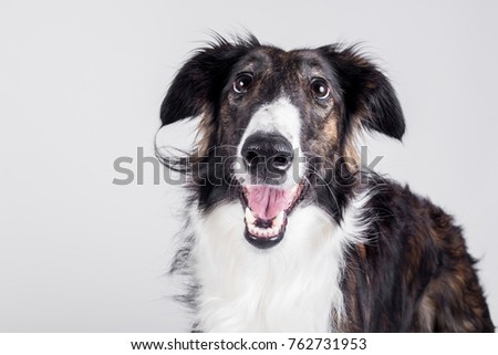 Happy smiling borzoi dog isolated on white background #762731953