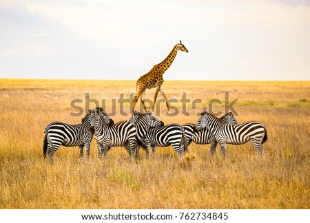 Zebras and a giraffe all together in Serengeti National Park, Tanzania Royalty-Free Stock Photo #762734845