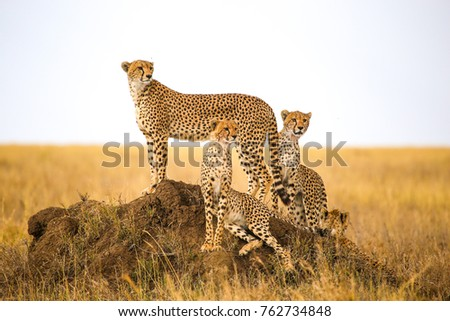 cheetahs watching prey in Serengeti National Park, Tanzania Royalty-Free Stock Photo #762734848