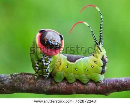 Beautiful caterpillar in a frightening pose #762872248