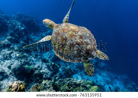 Green sea turtle swimming above a coral reef close up. Sea turtles are becoming threatened due to illegal human activities.