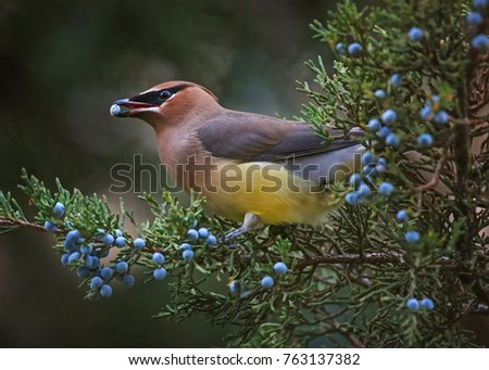 a cedar waxwing eating a blue berry off an evergreen tree in the winter time at twilight  #763137382