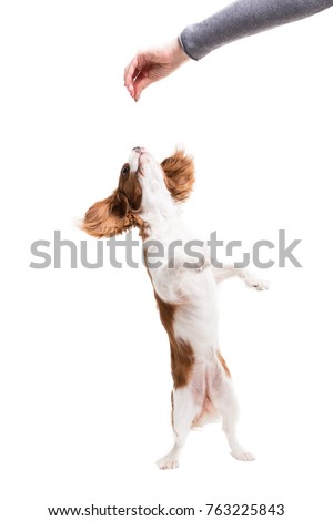 Cavalier King Charles Spaniel jumps, trying to catch food  in studio on white background - isolate with shadow. #763225843