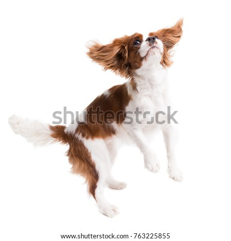 Cavalier King Charles Spaniel jumps in studio on white background - isolate with shadow. #763225855