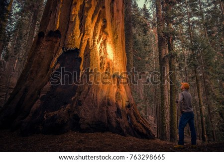 Caucasian Hiker with Flashlight Exploring Giant Sequoias Forest in California Sequoia and Kings Canyon National Parks. #763298665