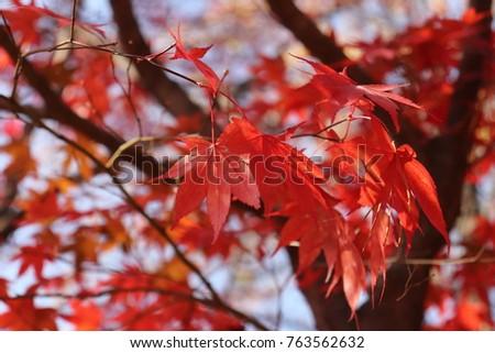 Maple leaf on tree #763562632
