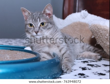 BEAUTIFUL GRAY STRIPED TABBY CAT WITH GREEN EYES #763948072