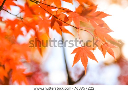 Bright colorful maple leaves on the branch in the autumn season. #763957222