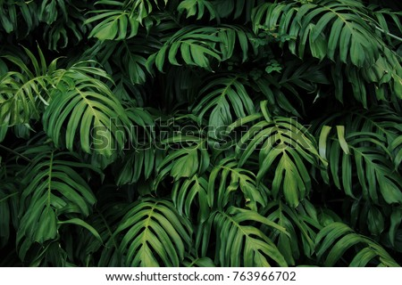 Green leaves of Monstera philodendron plant growing in wild, the tropical forest plant, evergreen vines abstract color on dark background.  #763966702