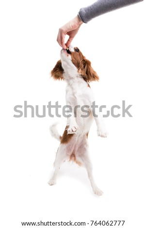 Cavalier King Charles Spaniel jumps, trying to catch food  in studio on white background - isolate with shadow. #764062777