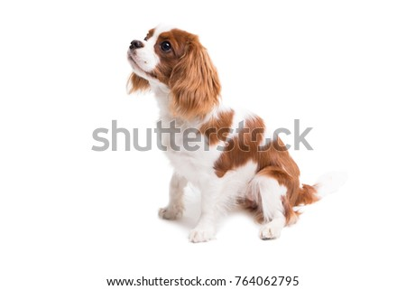 Cavalier King Charles Spaniel is sitting in studio on white background - isolate with shadow. #764062795