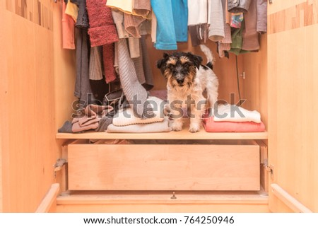 Dog in the wardrobe - jack russell terrier #764250946