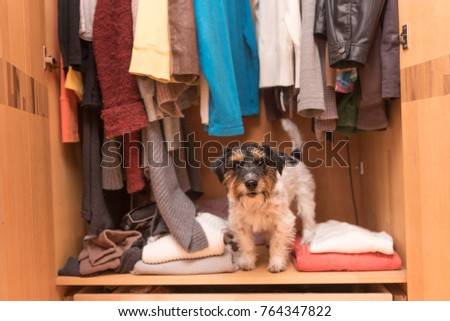 Dog in the wardrobe - jack russell terrier #764347822