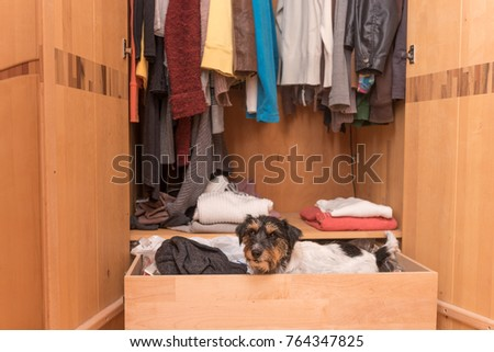Dog in the wardrobe - jack russell terrier #764347825